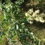ヘナの種の保存方法